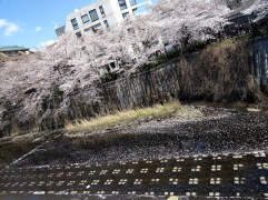 Article 44-photo 13-05 04 2019_Sakura_Meguro river