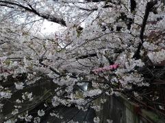 Article 44-photo 15-05 04 2019_Sakura_Meguro river