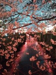 Article 44-photo 47-05 04 2019_Sakura_Meguro river