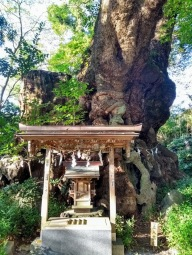 Article 77-photo 1-28 11 2019_Ookusu camphor tree_Kinomiya shrine_Atami