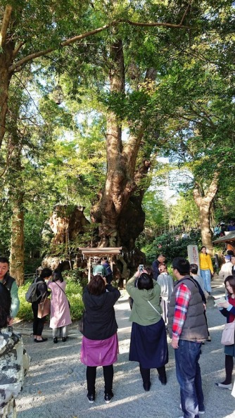 Article 77-photo 12-28 11 2019_Ookusu camphor tree_Kinomiya shrine_Atami