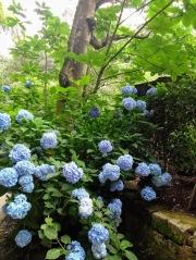 Article 117-photo 17-22 06 2020_Temple Meigetsu-in_Kamakura