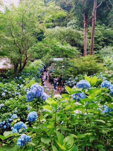 Article 117-photo 20-22 06 2020_Temple Meigetsu-in_Kamakura