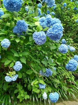 Article 117-photo 22-22 06 2020_Temple Meigetsu-in_Kamakura