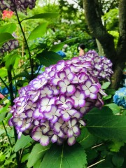 Article 117-photo 4-22 06 2020_Temple Meigetsu-in_Kamakura